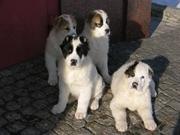 Продаются щенки алабая.